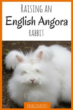 Angora rabbits are adorable and troublesome all at once. Here's 8 reasons why I love (and hate) my angora rabbit Meat Rabbits Breeds, Raising Rabbits For Meat, Rabbit Breeds, Raising Goats, Angora Rabbit, Pet Rabbit, Rabbit Habitat, Pig Habitat, Rabbit Tale