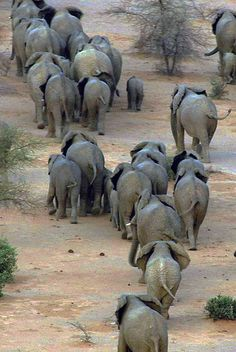 The Mali elephant takes on the longest elephant migration on Earth; a 300-mile circle around the heart of Mali