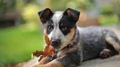 australian cattle dog puppy pics