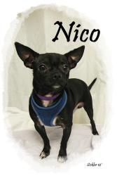 Nico is an adoptable Chihuahua Dog in Emporia, KS.  ...