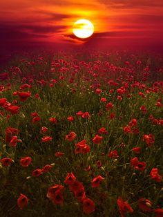 10 Amazing landscape pictures of flower field - Newspandas Beautiful World, Beautiful Places, Beautiful Beautiful, Beautiful Morning, All Nature, Amazing Nature, Red Poppies, Red Flowers, Flowers Nature