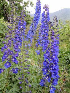 Raccontare un paese: I miei fiori: gigli e delphinium