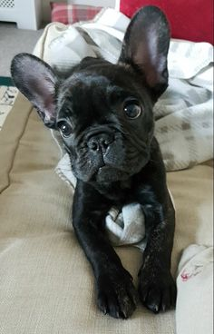 The major breeds of bulldogs are English bulldog, American bulldog, and French bulldog. The bulldog has a broad shoulder which matches with the head. Kittens And Puppies, Cute Dogs And Puppies, Pet Dogs, Dog Cat, Doggies, Cute Baby Animals, Animals And Pets, Funny Animals, French Bulldog Puppies