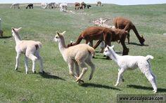 A to Z Alpacas - Farm and Boutique Blog