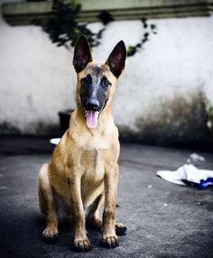 malinois my favorite dog breed