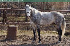 Orlov Trotter stallion Poprek