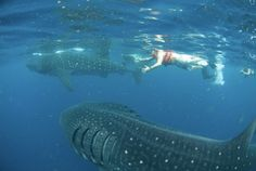 Swimming With Whale Sharks: Isla Holbox, Mexico. S)