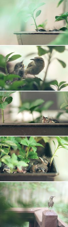 baby birds chicks -We have another family of Carolina Wrens living in our kitchen window box!