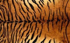 Skin Feather Tiger Wallpaper #4614 Wallpaper | freewallpic.
