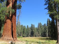Giant sequoia in the Giant Forest, Sequoia National Park, United States