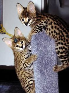 Top 5 Most Expensive Cat Breeds.these are the most beautiful cats, look at their ears! Rare Cats, Cats And Kittens, Bengal Kittens, Exotic Cats, I Love Cats, Cool Cats, Beautiful Cats, Animals Beautiful, Ashera Cat