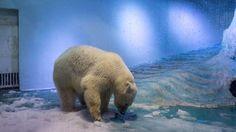 """""""Maailman surullisimmalle jääkarhulle"""" tarjottiin uutta kotia – kiinalaiset eivät luovu ankeaan vitriiniin suljetusta eläimestä"""