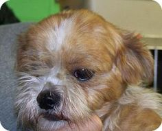Rockaway, NJ - Shih Tzu Mix. Meet Sorgum (JS-TN) MOPS, a dog for adoption. http://www.adoptapet.com/pet/11969756-rockaway-new-jersey-shih-tzu-mix