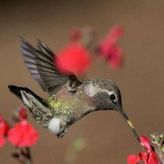 Anna's Hummingbird Portrait