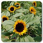 Organic Zohar F1 Hybrid Sunflower.