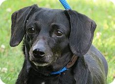 Westampton, NJ - Dachshund. Meet Chloe, a dog for adoption.  Chloe is a one half of a duo. Her partner is Daphne. Both are 5 years old, easy to walk, lively and friendly. Chloe is black and weighs 18.9 pounds. These two girls love each other very much and would like to be together, although, splitting them up would be considered! If you have room in your heart for not just one, but two, loveable dogs, please come meet Daphne and Chloe!