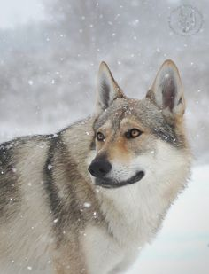 Bohun Czechoslovakian Wolfdog - null. I am in love with this dog, they are so beautiful.