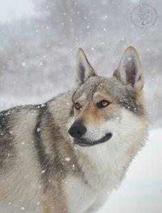 Bohun Czechoslovakian Wolfdog - null