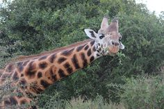 ...alle giraffe guardiamo negli occhi...
