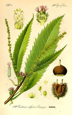 Le foglie di Castagno, proprietàastringenti,antisetticheesedative della tosse.