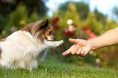 The Papillon dog so cutest and adorable, also called the Continental Toy Spaniel, is a breed of dog of the Spaniel type. One of the smallest dog in the world. Perro Papillon, Papillion Dog, Pet Dogs, Dogs And Puppies, Dog Cat, Pets, Dog Breeds List, Small Dog Breeds, Dog Boarding Kennels