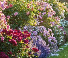 Austin Rosen, Old Rose, David Austin Roses, Antique Roses, English Roses, Tea Roses, Echeveria, Pretty Pictures, Garden Inspiration