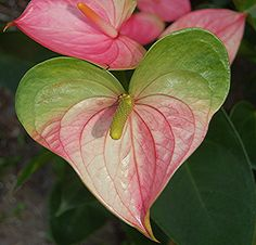 Heart-shaped pink and green Anthurium - I would love to have these