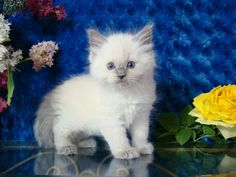 Damari Blue Point Male Ragdoll - Ragdoll Kitten for Sale - from www.RagdollKittens.com