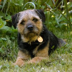 """Border Terrier. """"Head like that of an Otter"""" - Talk Photography - looks just like our Mij!"""