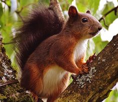 Orava, Nager, Söpö, Luonto, Jyrsijä