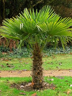 Windmill Palm - the most cold hardy trunking palm