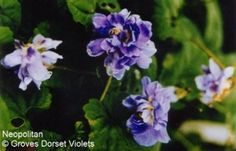 Neapolitan Violet.  Double. Pale silvery-lavender flowers. Scented. Long flowering period. Possibly the original Parma violet £3.75