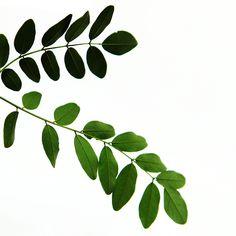locust leaves (mary jo hoffman)
