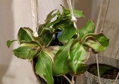 Callisia soconuscensis Pink Lady, Plants, Pink Ladies, Plant, Planets