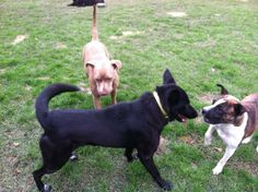 This is a wonderful young female that is happy and healthy with a beautiful shiny black coat.  She is friendly with people and other dogs, but is still wanting to chase the cats!  We are working on that training.  She uses the doggie door and is...