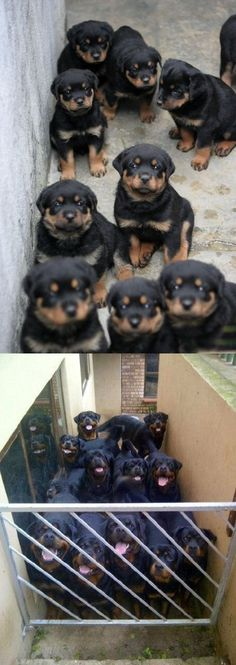 Funny Rottweiler Then And Now Cute Dogs Pictures Animals And Pets, Baby Animals, Funny Animals, Cute Animals, Cute Puppies, Cute Dogs, Dogs And Puppies, Doggies, German Dog Breeds