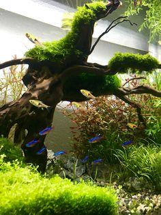 #aquascape #aquarium #vissen