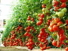 Balcony Garden, Garden Plants, Tomato Tree, Tomato Garden, Harvest, Vegetables, Fruit, Flowers, Food