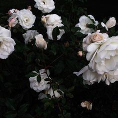 ❈ Fleurs Foncées ❈ dark art photography flowers & botanical prints - morning blooms by jessicacomingore on instagram