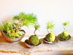 黒松の盆栽 苔玉(moss green ikkei) Kitowa 2017.11月