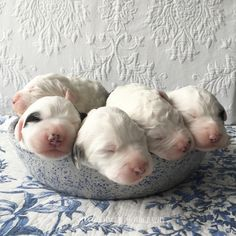 Old English Sheepdog Puppies, Puppies in Bowl, Shannon Hager Photography, Newborn Photos