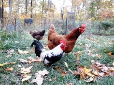 Cabin Porn™ Chickens living off grid in upstate New York