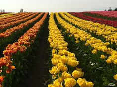 Tulip Town in Mount Vernon, WA