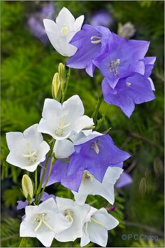 Canterbury Bell Flowers--I love these flowers; I have them growing in my garden and they bloom just like this.