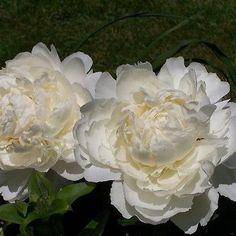 100+ Peony Cream Flower Seeds , Under The Sun Seeds