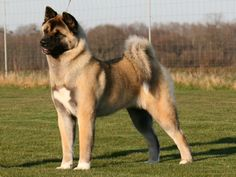 #freepetcare The American Akita is docile, intelligent, courageous and fearless. Careful and very affectionate with its family.