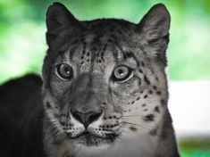 La panthère des neige, son regard ! Chef Seattle, Panther, Nature, Red Eyes, Beautiful Creatures, Animaux, Photography, Naturaleza, Panthers