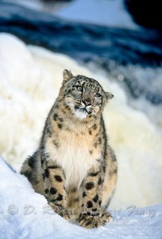 Snow leopard in winter snow
