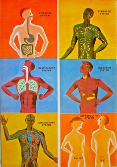 Images from The Human Body - What it is and how it works, published in 1959. Illustrated by Cornelius de Witt.