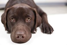 The low insulin level in the blood is the primary cause of diabetes mellitus in Labradors. With the body unable to produce enough insulin, the amount of sugar in the blood rises. Middle-aged dogs are at most risk. Causes Of Diabetes, Diabetes Mellitus, Best Dogs, Chocolate Labradors, Your Dog, Labrador Retriever, Animals, Labrador Retrievers, Animales